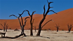 Acacia mort