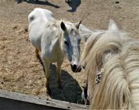 Les chevaux Camargués